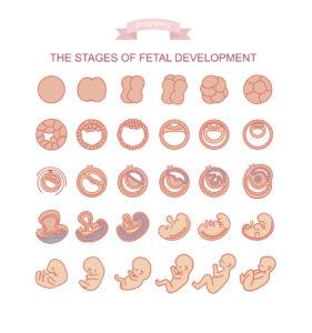le fasi dello sviluppo embrionale
